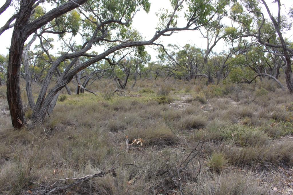 Stringybark  bush